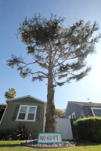 a 60 foot tree